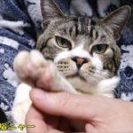 爪切り中とは思えぬほどのリラックスぶりな猫リキちゃん☆実はゴロゴロ言ってますw☆猫の爪切り【リキちゃんねる 猫動画】Cat video キジトラ猫との暮らし