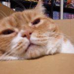 不器用な猫ティオ(短足ねこマンチカン)