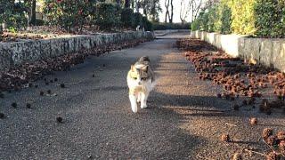駆け寄る猫の鳴き声と姿が可愛い過ぎてノックアウトw かわいい猫動画