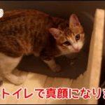 猫が真顔でおしっこします。集中にゃ!!The cat has a pee with a straight face.