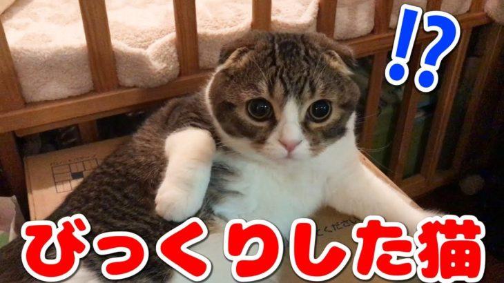 子供たちに挨拶されてびっくり!な猫【スコティッシュフォールド】【Scottish Fold】