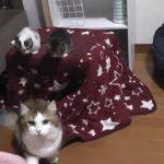 子猫のケンカを斬新な方法で仲裁する父猫