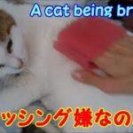 ブラッシングが嫌なのニャ・・・うちの猫ちゃんたちカワイイTV