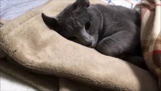 人間みたいに布団で寝てる猫がカワイイ(ロシアンブルー)