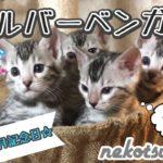 【感謝】シルバーベンガル猫のかわいい子猫が出産から生後1ヶ月になったよ!Bengal Cat Kittens