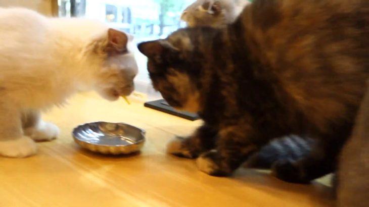 猫カフェで幸せいっぱいねこあつめ☆CAT CAFÉ☕️
