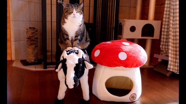 牛さんで寛ぐねこ。-Maru relaxes on the cow.-