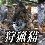 【希少な狩猟猫】人間の食糧を獲って来てくれる偉い猫【ドキュメントノネコ】