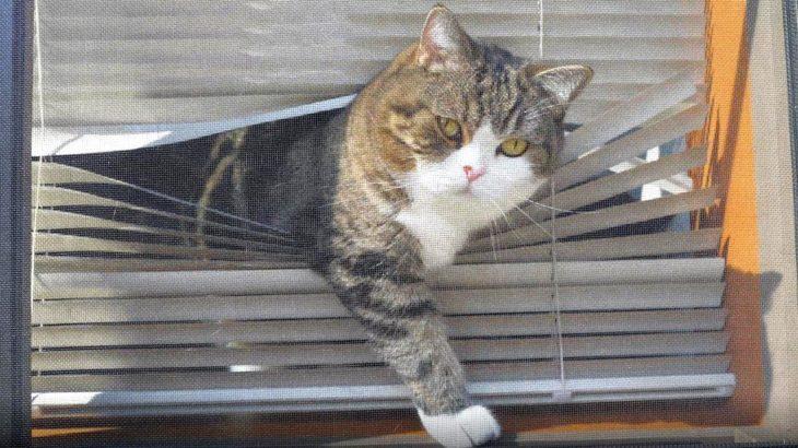 ブラインドからねこ。-Maru from the window shade.-