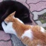 猫動画 【貴重】大きいのにおっぱいを求め続けるねこ 乳離れできない