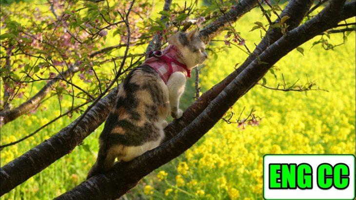 桜の木に登り春の絶景を眺める三毛猫姉さん【Eng CC】