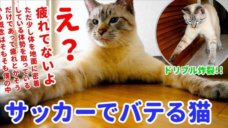 新居に興奮してドリブルしまくる猫が急に疲れちゃうのがかわいすぎる…