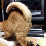 替えの爪とぎが突然動いてビックリする猫