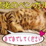 出産後のベンガル猫のベルの甘えたオネダリ攻撃が可愛い