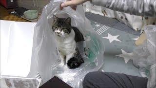いいもの出てこないか期待しまくりな猫リキちゃんは検品係☆袋でびっくりハプニング☆ニトリで購入した収納グッズ紹介☆お値段以上ニトリ♪【リキちゃんねる 猫動画】Cat video キジトラ猫との暮らし