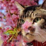 猫とお花見へ☆色鮮やかな河津桜とリキちゃん☆お花見2019年・ねことおでかけ【リキちゃんねる 猫動画】Cat video キジトラ猫との暮らし