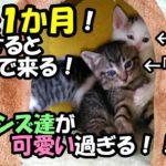 【母猫は1歳】子猫が子ネコを育てる! #16 生後一か月なのに帰宅すると飛んで来る「子ニャンズ達」が超可愛いい!=^_^=