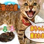 【閲覧注意】感動!ベンガル猫ベルの2度目の出産を一部始終レポート
