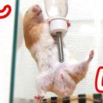 【おもしろ動物】超笑える!筋トレハムスターの最高におもしろいハプニング集!可愛い癒しMuscular hamster's best interesting happening collection!