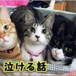 【猫 泣ける話】首輪の手紙・猫飼っていて今でも忘れられない話(猫 感動 泣ける話 保護 涙腺崩壊 感涙 動物 動画 里親)招き猫ちゃんねる