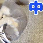 飼い主の臭い靴に甘える飼い猫が可愛い!【中毒】【匂いフェチ】【ねこ cat】