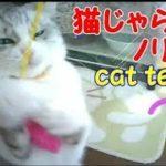 猫じゃらしにノリノリ!楽しく遊ぶ!・・・うちの猫ちゃんたちカワイイTV