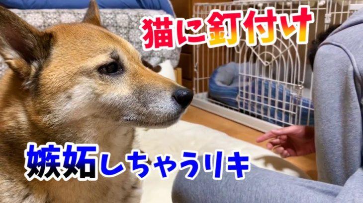 飼い主が猫に釘付けになると嫉妬する柴犬 To get jealous
