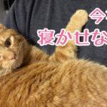 寝ようとした飼い主に抱っこで甘えて寝るのを阻止する猫!