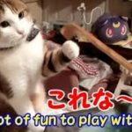 ネコと遊ぶ! 孫の手が楽しすぎるボクちゃん・・・うちの猫ちゃんたちカワイイTV