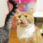 【猫 おもしろ】妹猫のお尻でフレーメン連発なおもしろい猫 - the flehmen response of the cat –