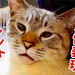 甘えん坊猫の愛情表現がかわいすぎて閲覧注意【サイレントニャー】