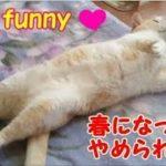 ごろんとしちゃうネコがおもしろい・・・うちの猫ちゃんたちカワイイTV