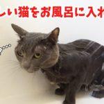 大人しい猫をお風呂に入れます【ハム編】