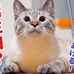【祝1歳】猫のデュフィの誕生日におもちゃをプレゼントしました!