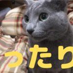 まったりカワイイ猫(ロシアンブルー)