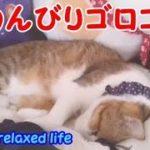 のんびりゴロゴロまったりな5匹・・・うちの猫ちゃんたちカワイイTV
