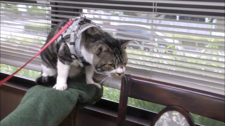 動物病院に行ってビックリ!リキちゃんVS病院の猫ちゃん!?パパの威を借りるゴジラ猫【リキちゃんねる 猫動画】Cat video キジトラ猫との暮らし