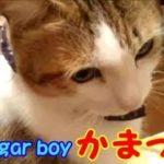 かまってほしい!鳴いて甘えて離れないボクちゃんに癒される・・・うちの猫ちゃんたちカワイイTV