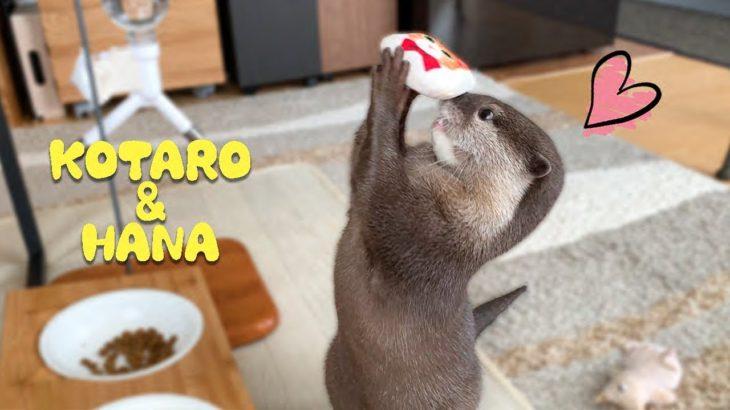 カワウソコタローとハナ もちもちマシュマロ猫に大喜びする姿がカワイイ Otter Kotaro&Hana Love Soft Plush Cat Toy