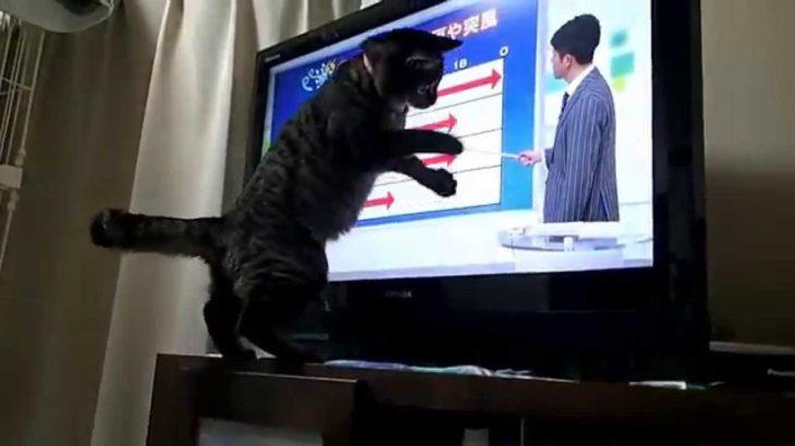 NHK平井さんの天気予報が大好き【猫だって言葉がわかるよ】