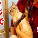 風呂嫌いの猫にシャンプーしてみた結果…