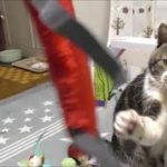興味ないおもちゃかと思いきや突然覚醒するねこ☆猫パンチ炸裂・イノシシの如く猛ダッシュ【リキちゃんねる】Cat video