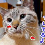 猫の鼻についてる謎の白い物体の正体は○○でした…