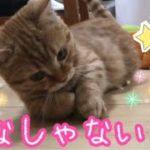 マンチカンの子猫茶々がペットボトルのキャップで必死に遊ぶのが可愛いッ!!【日刊ねこもふ生活】