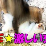 【猫の交尾】続!猫の交尾は激しすぎる