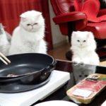 初めての焼肉をドキドキしながら見守る猫家族がかわいい