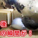 【猫部屋ハプニング】 みみに悲劇が Happening in the cat room Mimi's tragedy