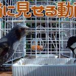 【猫が夢中になる猫用動画】庭にやって来るシジュウカラとヒヨドリ