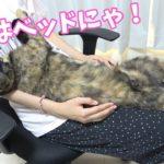 ママを完全にベッドだと思っている猫モモちゃん