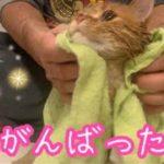 短足マンチカンの子猫茶々2回目のお風呂ッッ!!【日刊ねこもふ生活】